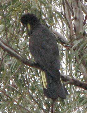 black-cockatoo-2