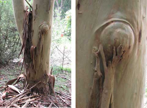 Post image for Bare-skinned gum trees