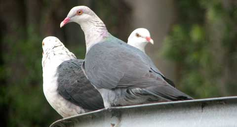Post image for Pigeon population explosion