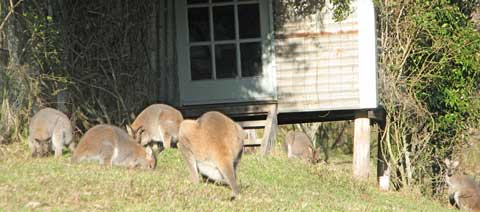 Post image for Winter wallabies