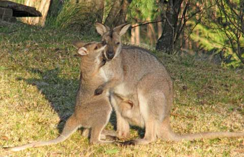 Post image for Morning wallabies