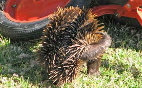 Post image for Getting to know echidnas