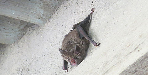 Post image for Verandah bat