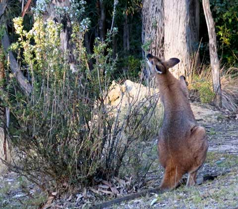 wallaby-winter-2
