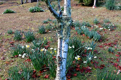 Post image for Of bulbs and birches
