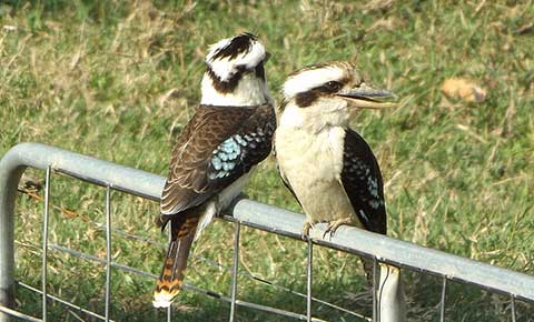 Post image for Kookaburra pair