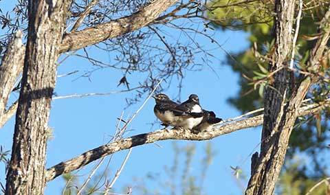 wagtails-12