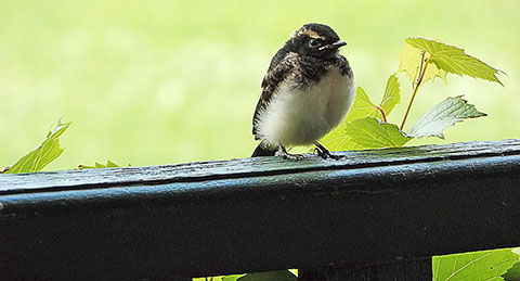 wagtails-7