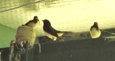 wagtails-8