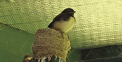 wagtails-9