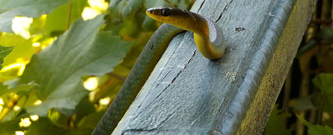 Post image for Vine Snake