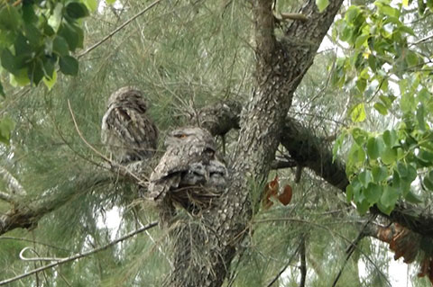 Post image for Frogmouth family