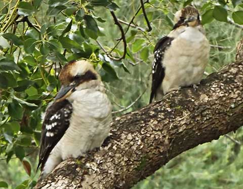 Post image for Kooka colony